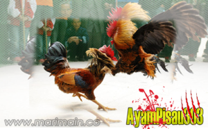 Alternatif Taruhan Adu Ayam